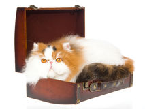 Calico Persian cat inside brown suitcase Stock Image