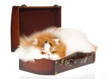 Calico Persian cat peeping out of brown suitcase. Show champion calico Persian cat lying inside brown suitcase, on white background royalty free stock photography