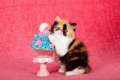 Calico Persian kitten with paws on blue and pink cupcake on bright pink background royalty free stock photo