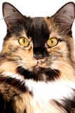 Calico Portrait Stock Photo