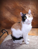 Calico Pose. Beautiful Calico Cat Posing perfectly on decorative stool royalty free stock photography