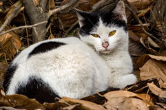 A calico stray cat. A young male calico stray cat Stock Photography
