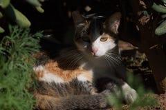 Calico tortoiseshell cat hiding from the midday sun under shrub vegetation stock image