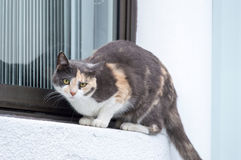 Calico tortoiseshell cat Royalty Free Stock Images