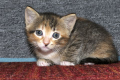 Calico tricolor tabby kitten crouched down on red textured carpe. T with gray carpet scratching post behind her. Looking at the camera Stock Photo