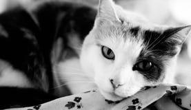 Calico in zwart-wit Royalty-vrije Stock Afbeelding