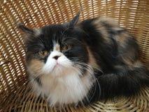 Calicoperzische kat in mand Stock Foto's