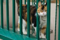 Calicot Cat Peeking Through une barrière vert clair photo stock