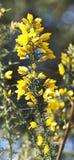 Calicotome spinosa Fotografia Stock