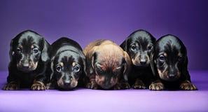 Calidad del estudio de cinco perritos del perro basset imágenes de archivo libres de regalías