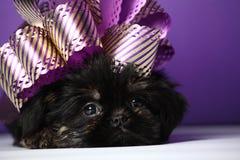 Calidad del estudio del juguete de Griffon Dog Puppy Foto de archivo