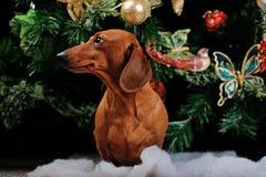 Calidad del estudio del perro basset del Año Nuevo Foto de archivo libre de regalías