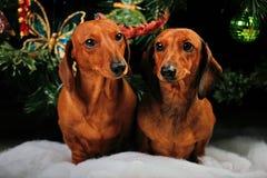 Calidad del estudio del perro basset del Año Nuevo Fotos de archivo