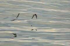 Calidrids或典型的趟水者飞行在太平洋 库存照片