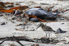 Calidrids / typical wader or sandpiper Stock Photo