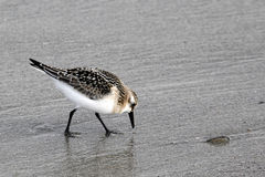 Calidrids / typical wader or sandpiper Stock Photos