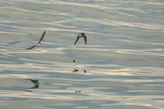 Calidrids or typical waders fly over Pacific Ocean. Calidrids or typical waders fly over the Pacific Ocean Stock Photos