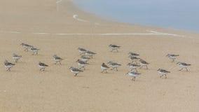 Calidris alba, oiseaux photos stock