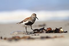 Free Calidris Alba. The Wild Nature Of The North Sea. Bird On Beach By The Sea. Royalty Free Stock Images - 106886479