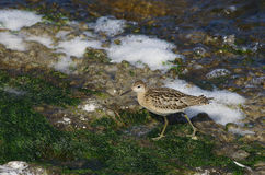 Calidris alpina. The dunlin (Calidris alpina) is a small wader Stock Photos