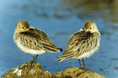 Calidris alpina royalty free stock photo