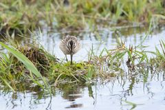 Calidris falcinellus. Or Broad-billed sandpiper on a flooded meadow Stock Image