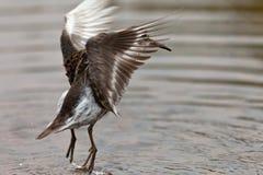 Calidris ptilocnemis bird stock photos