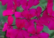 Caliente洋红色天竺葵,达拉斯树木园 免版税库存照片