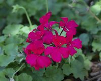 Caliente Magenta Pelargonium, Dallas Arboretum. Pictured is a closeup view of blooms of caliente magenta pelargonium in the Dallas Arboretum and Botanical Garden Royalty Free Stock Photography