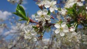 Caliente principios de mayo Debajo de Kazán florecieron los jardines Manosee las abejas recogen con impaciencia el néctar metrajes