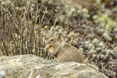 Califórnia, na estrada a Carmel, opinião do close-up um esquilo imagem de stock
