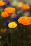 Califórnia ou papoilas mexicanas no deserto de Sonoran Fotografia de Stock Royalty Free