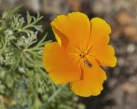 Califórnia Poppy Flower com o visitante minúsculo do inseto imagem de stock royalty free