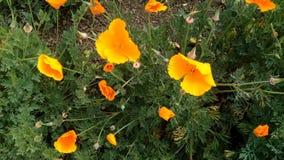 Califórnia Poppy Flowers Swaying In Breeze dourada de cima de video estoque