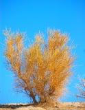 Califórnia Sagebrush Imagens de Stock Royalty Free