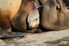 Califonia Sea lions. A sea lion nestles between others Stock Photo
