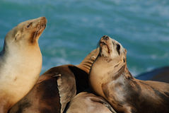 Califonia Sea Lions. Two Sea Lions Seem to face off Stock Image