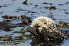 Califonia Sea Otter. A California sea otter wraps himself up in kelp Stock Photography