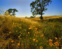Califormia Poppies. Shot of blooming California Poppies in a field near Napa, CA Royalty Free Stock Photography