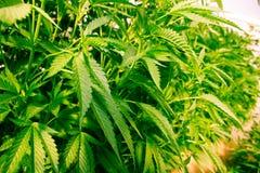 Californië die Medische Marihuana dromen Stock Foto's
