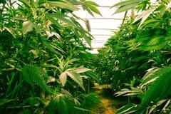 Californië die Medische Marihuana dromen Stock Foto