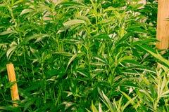 Californië die Medische Marihuana dromen Royalty-vrije Stock Foto's