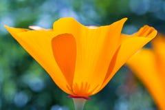 Californië Poppy Close Up stock afbeeldingen