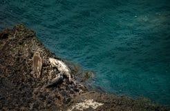 Californië Marine Wildlife Harbor Seals Royalty-vrije Stock Foto's