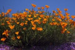 california цветет мак Стоковые Фотографии RF