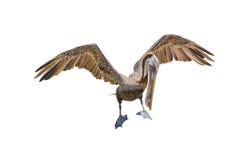 пеликан утра Марины пер california коричневого цвета клюва Барвары центральный прибрежный предыдущий садился на насест пристань s Стоковое Изображение RF