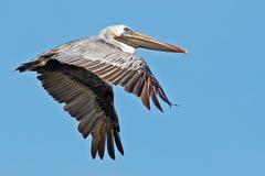 пеликан утра Марины пер california коричневого цвета клюва Барвары центральный прибрежный предыдущий садился на насест пристань s Стоковая Фотография