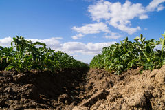 The California agriculture. Royalty Free Stock Photography