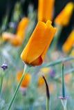 California anaranjada cerrada Poppy With Dew Drops Imagen de archivo