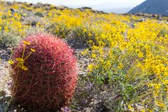 California Barrel Cactus Stands Along Among BrittleBrush. During the super bloom stock image